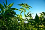 Una piantagione di Cannabis (Ansa.it)