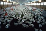 Un allevamento di polli