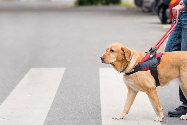 31-how-to-train-a-guide-dog-for-the-blind